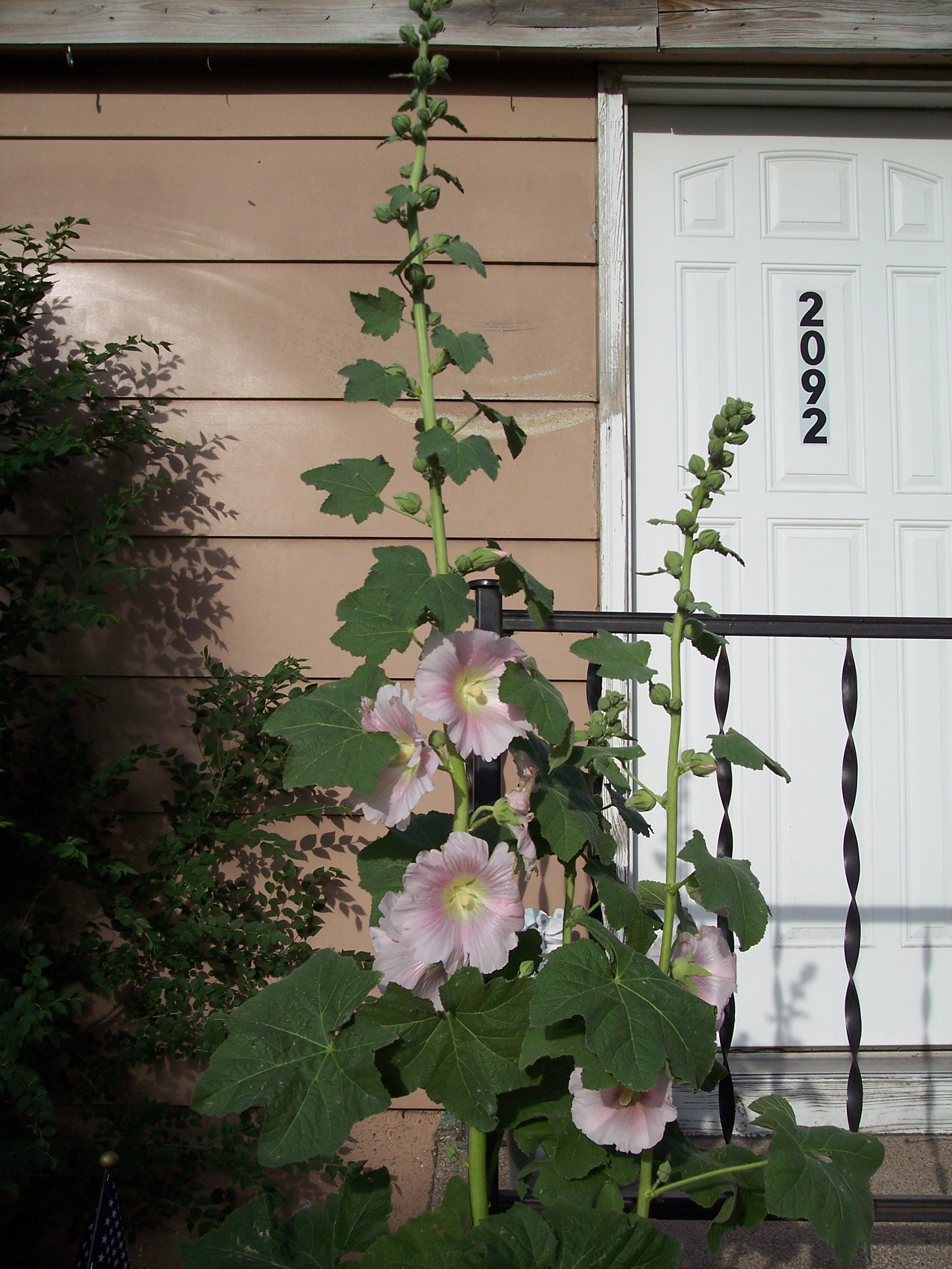 light pink hollyhocks
