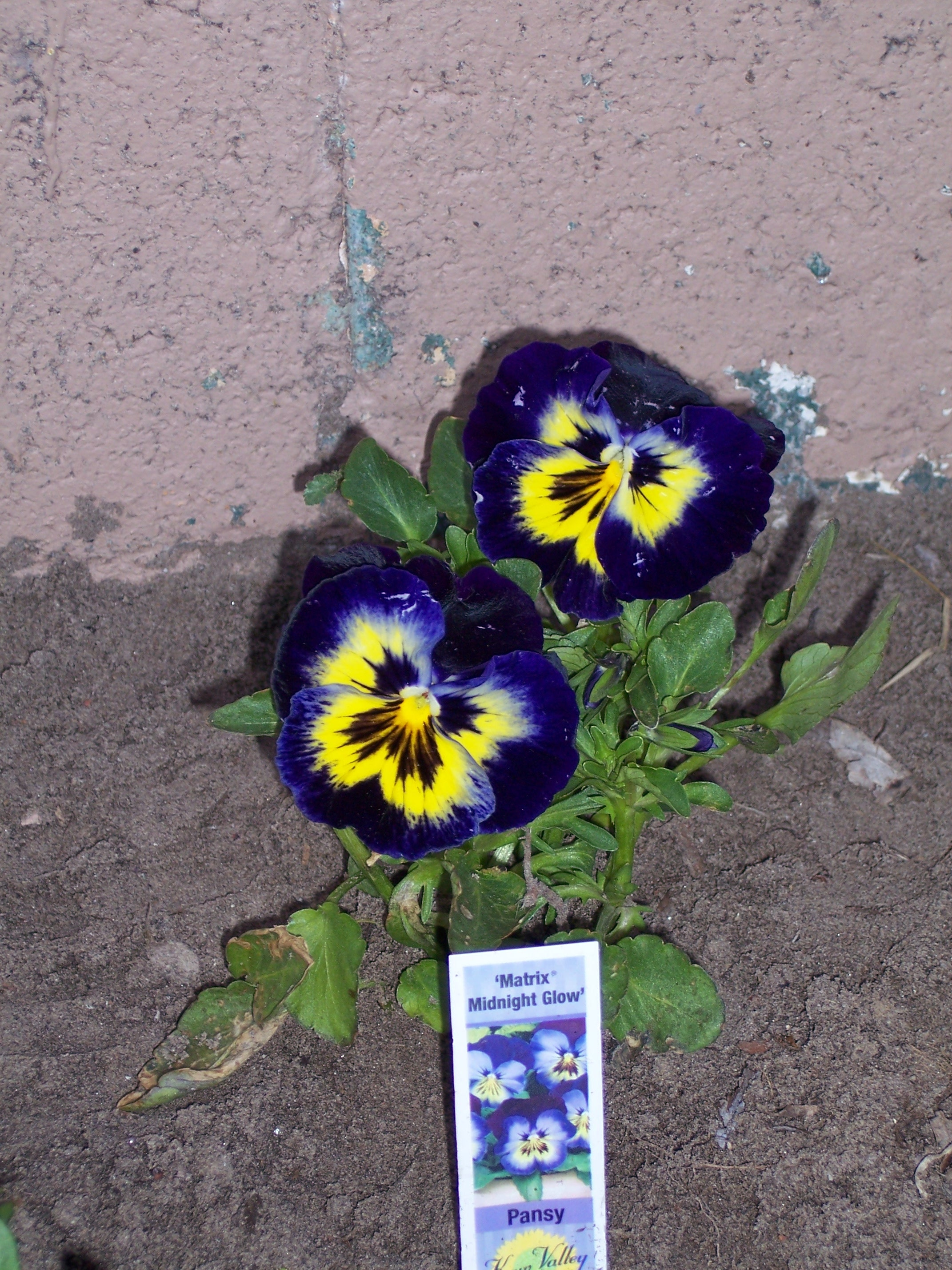 midnight glow pansy
