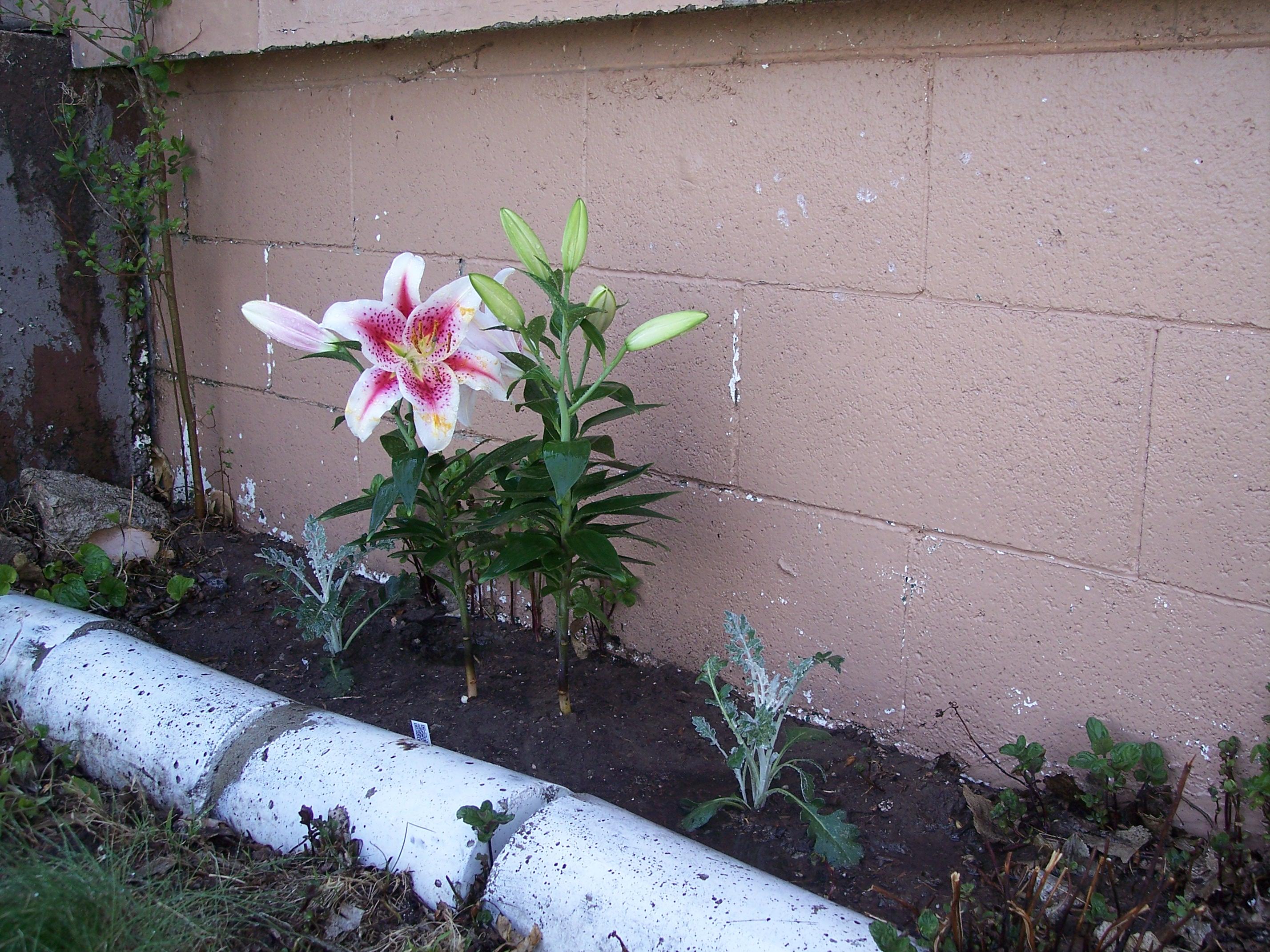 Joni's lily